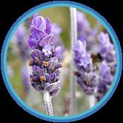 somnafil ingredients Lavender extract